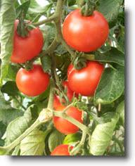Ebook cover: Virtually Foolproof Method of Growing Organic Tomatoes